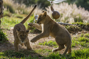 Lions, Tigers, and Panda Bears, Oh My! - The San Diego Zoo or Safari Park Package package information