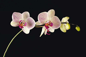 Orchid Fanatics Package package information